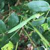 Chinese Mantis, juvenile