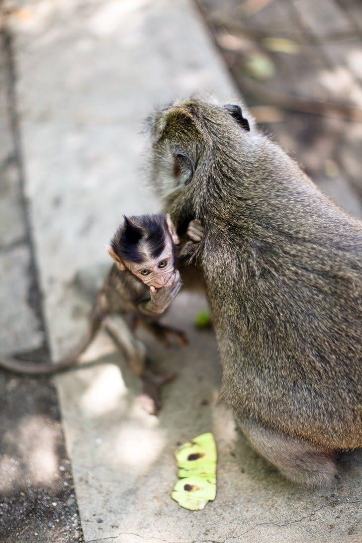 Uluwatu Temple Monkeys in Bali Indonesia.