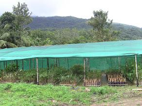 Photo: bamboo nursery