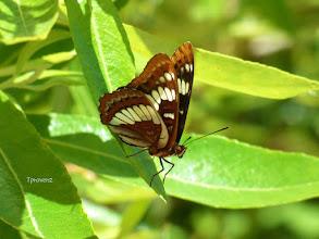 Photo: Lorquin's Admiral butterfly Tony Provenzano