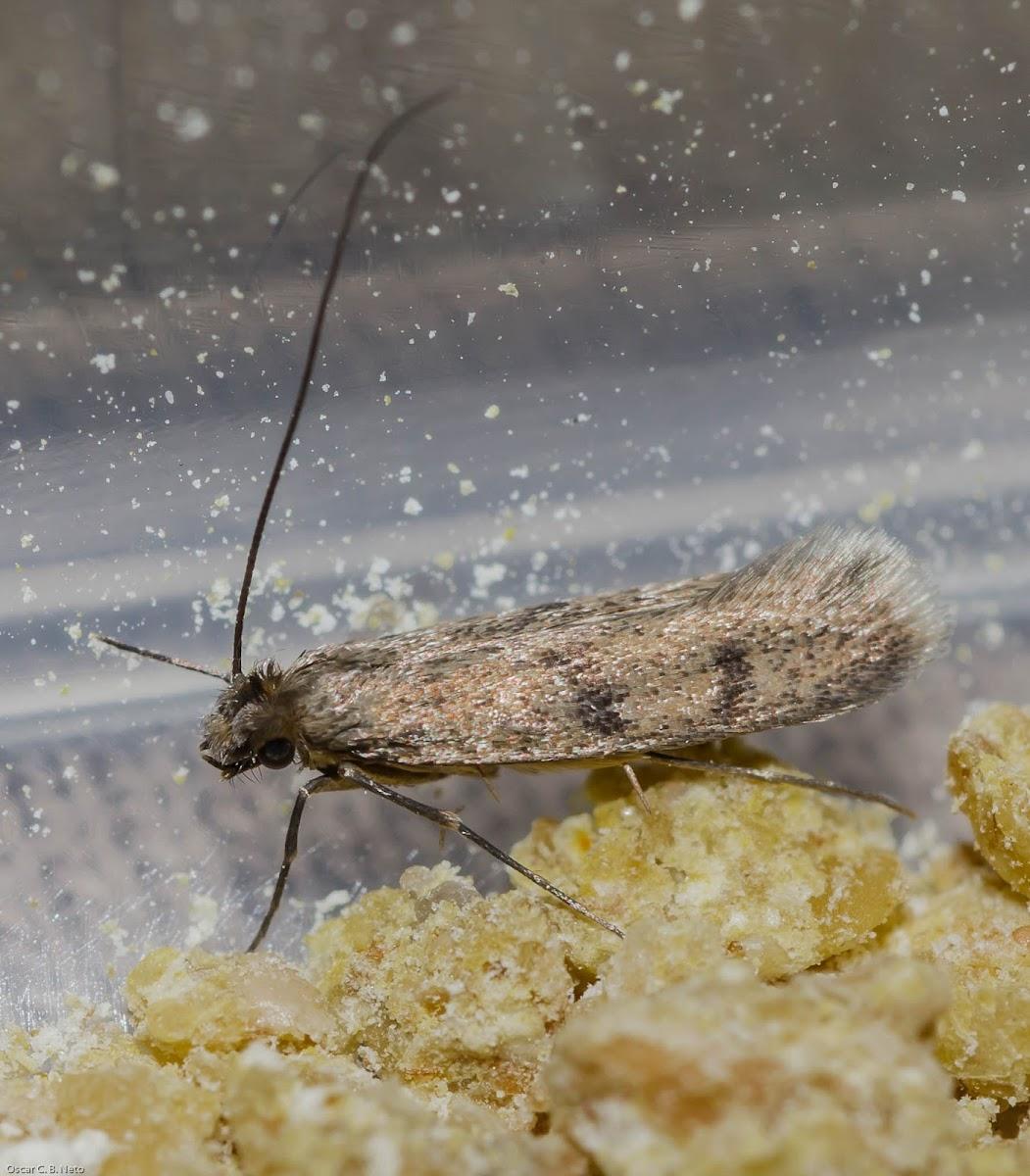 Household Casebearer Moth / Traça-de-Parede