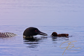 Photo: A morning with a very accommodating family of loons on a NH lake that shall remain nameless.
