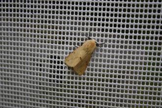 Photo: Spilosoma luteum      Lepidoptera > Erebidae