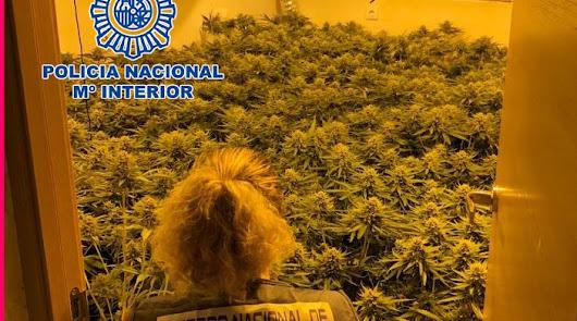 Desmanteladas dos plantaciones de marihuana en viviendas ocupadas de la capital