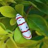 Red-striped Tiger Moth