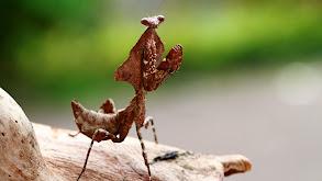 Malaysian Dead-Leaf Mantis thumbnail