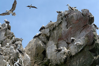 Photo: Islas Ballestas. Before the industrial harvesting of the guano, the layer of bird shit was about 30m on some parts of the islands.