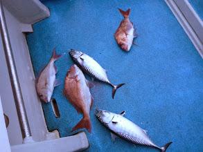 Photo: な、なぬー! 真鯛×3匹+ヤイトカツオ×2匹=ご、5匹~!釣り過ぎ~!
