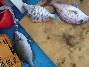 """Photo: うおおーっ!すごーいっ! オナガ、真鯛、フエフキのトリプルキャッチ! 相変わらず、スゴい事をやる""""オカモトさん""""!"""