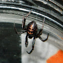 False Black Widow spider