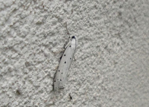 Photo: Myelois circumvoluta     PGE  Lepidoptera > Pyralidae