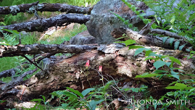 Photo: Some more honeysuckle flowers against tree trunks.