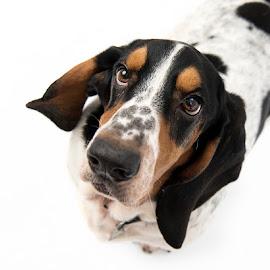 Basset Hound Portrait by Jude Stewart - Animals - Dogs Portraits ( studio, basset hound, hound, portrait, dog,  )