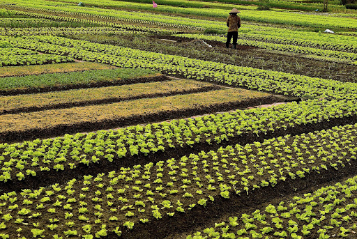 vietnam-crop-plantings.jpg - Typical local, lush crop plantings in a village along with Mekong River.