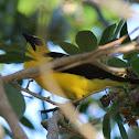 Oriole Blackbird (Iratauá-grande)