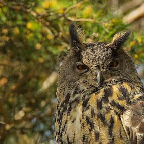 Berguv by Michael Pelz - Animals Birds