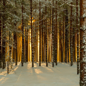 Glow by Walter Urnes - Landscapes Sunsets & Sunrises ( snow, forest, sunrise, sun, norway )