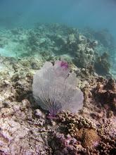 Photo: A seafan gorgonian