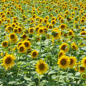 Sunflowers by Kris Van den Bossche - Flowers Flower Gardens (  )