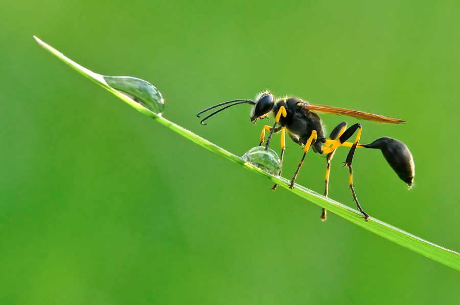 Playing Dew by Petrus Arif - Animals Insects & Spiders