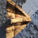 Rindge's Pero Moth