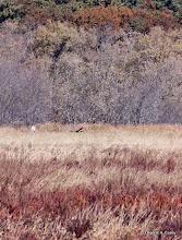 Photo: Harrier hunting