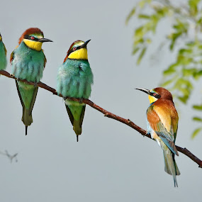 Merops apiaster by Sorin Lazar Photography - Animals Birds ( wild, sky, nature, migratory_birds, colors, wildlife, bee_eater, quartet, birds, merops_apiaster )