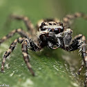 Gray Wall Jumping Spider