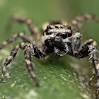 Gray Wall Jumping Spider