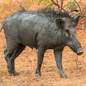 Indian boar, Andamanese pig, Moupin pig (family)