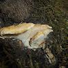 Hedgehog Mushroom