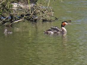 Photo: Trench Middle Pool Two juveniles on the back and one in the water: Great Crested Grebes at Middle Pool. (Ed Wilson)