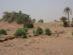 Photo: Eventually these tamarisk will becone as large as the large one on the left of the foto.