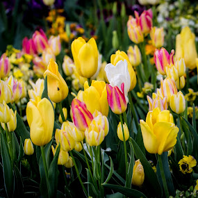 Tulips by Richard States - Flowers Flower Gardens ( gardens, yellow, tulips, flowers,  )