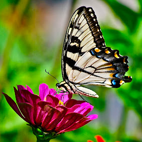 Garden beauty... by Doug Wean - Animals Insects & Spiders ( butterfly, macro, zinnia, nature, wings, nature up close, insect, swallowtail, garden, flower,  )