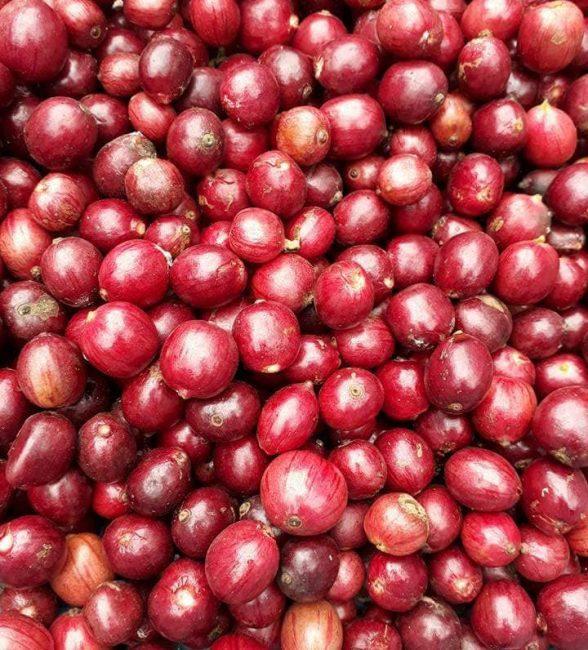 Phương pháp chế biến cà phê robusta loại 1 phổ biến nhất hiện nay