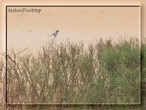 Photo: Varfågel - Lanius meridionalis / algeriensis - Southern Grey Shrike - Pie-grièche méridionale  NF Photo 121111 at Tamri National Park, Morocco http://nfmoroccobirds.blogspot.se/2012/11/varfagel-lanius-meridionalis.html