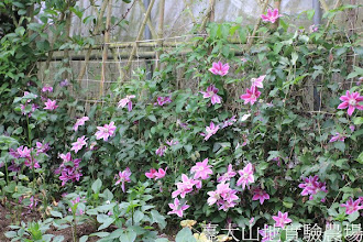 Photo: 拍攝地點: 梅峰-溫帶花卉區 拍攝植物: 鐵線蓮 拍攝日期:2012_05_09_FY