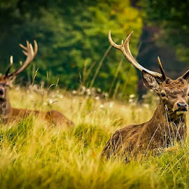 Keep looking over your Shoulder by Richie Hall - Animals Other Mammals ( mammals, antkers, animals, stags, nature, rut, wildlife, deer,  )