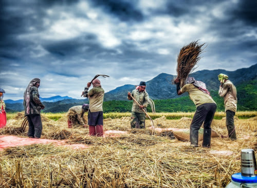 traditional form of harvesting,manipur by Arubam Meitei - People Street & Candids ( hardwork, manipur, harvesting, traditional, people )