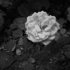 Роза by Georgi Kolev - Black & White Flowers & Plants ( миг., мисъл., цвете., тишина., време. )