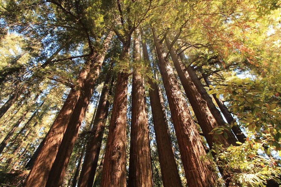 Redwoods by Steve Cornforth - Landscapes Forests
