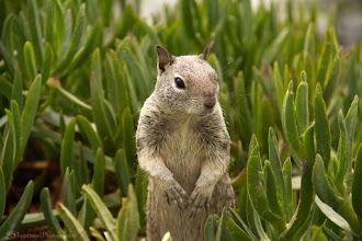 Photo: Olla, Mr. Squirrel @ La Jolla, San Diego, CA - http://photo.leptians.net/#Olla_Mr_Squirrel.jpg