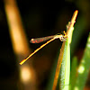 Citrine Forktail Damselfly