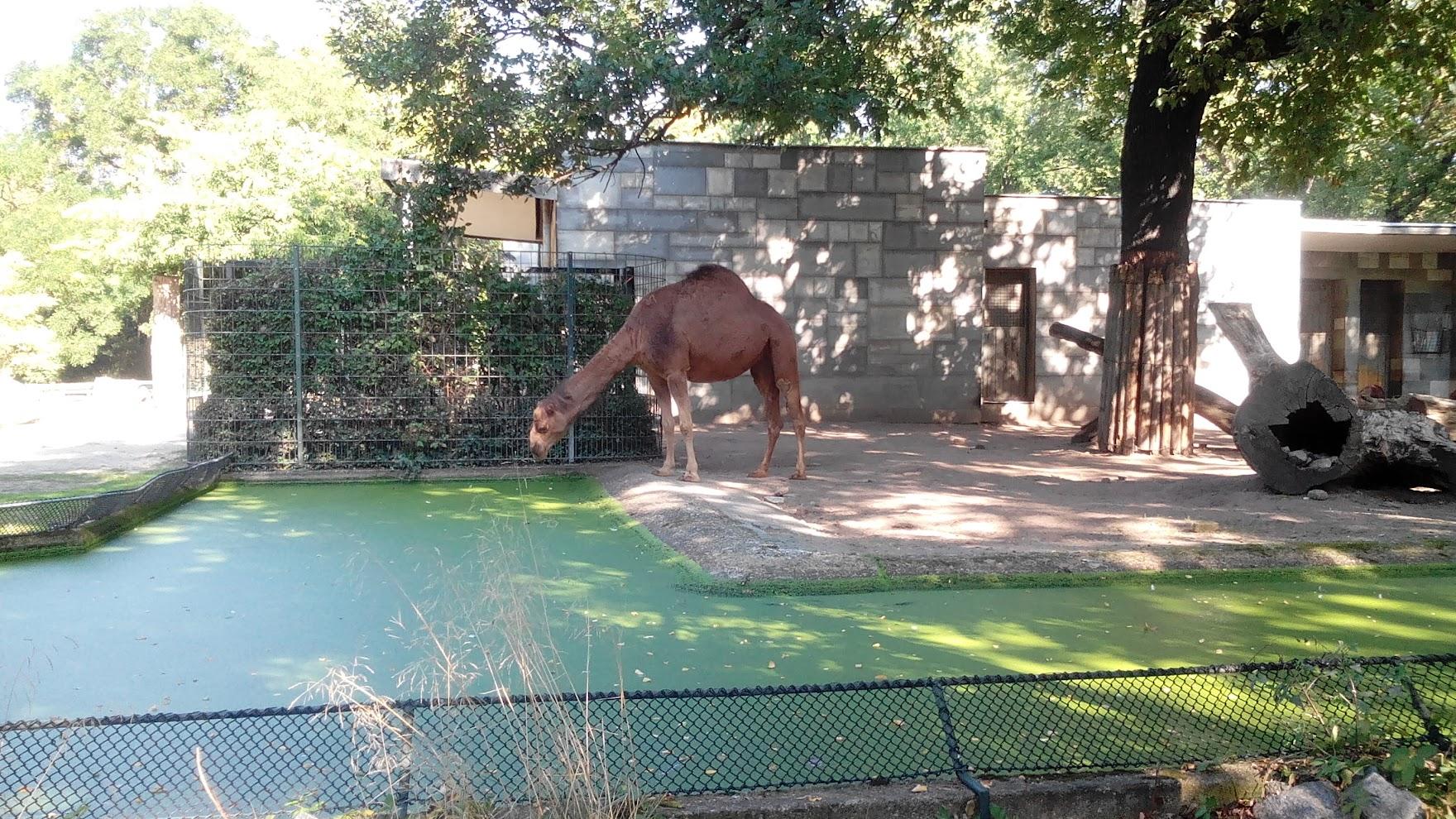 Верблюд пьёт