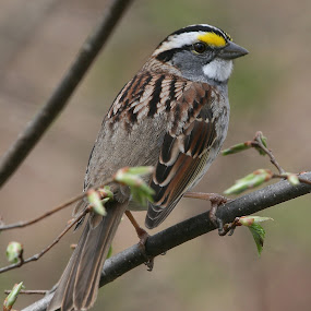 White-Throated Sparrow by Ken Keener - Animals Birds ( bird, white-throated sparrow, sparrow, birding )