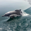Indian Ocean humpback dolphin