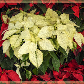 Poinsettias Oil Painting by Dawn Hoehn Hagler - Digital Art Things ( tucson, tucson botanical garden, arizona, poinsettia, plant, photoshop, garden, oil paint, christmas, flower, digital art )