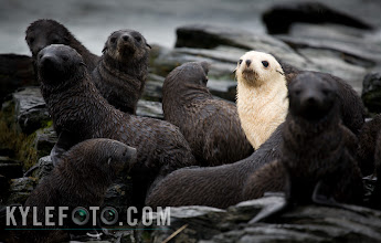 "Photo: The Blonde Seal Standing out in the crowd Antarctic Island of South Georgia  This fur seal was a fantastic prize among so many fur seals that populate the beaches of South Georgia. Apparently only 1% of the estimated 4 million fur seals on this island have this blonde expression called leucism.  As usual I was on a different mission, venturing the last leg of the great explorer Ernest Shackeltons historic expedition to find rescue for his men left on Elephant island. On my way up to the Stromness whaling station, I was inundated but the usual sight of fur seals when I came across this gaggle of fur seal pups.  I was extremely delighted to capture this one rarity among the pups. This seal stood out like nothing I've ever seen amongst a sea of brown blobs this one was wiggling his way through the crowd like a glow worm.  Photographic Details: The light was extremely low and overcast, I had to make due with a 1/00th of a second exposure. In cases like this, take as many photos as possible and hopefully one comes out crystal clear. I tried to get as many other seals in there as possible to really express how well this pup stands out, all while keeping the pup on the right side of the frame so that he ""looks into"" the picture. Thank you! I want to say thank you to everyone who follows, shares, + 1, comments on and contributes to the google plus community. Even if I don't find a way to respond, I'll have you know I read and appreciate every bit of feedback I get! I wish there is something I can do in return, all I think is that I have to keep on posting. I look forward to sharing so much more, and I'm putting together more detailed tutorials on some of my techniques. Every day client work and a lot of travel have been high on my priority list but I assure you more is coming! You all make this place such an engaging and vibrant community, keep on sharing and thanks for making this place as great as it is!"