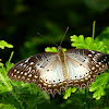 Red Lacewing (f)